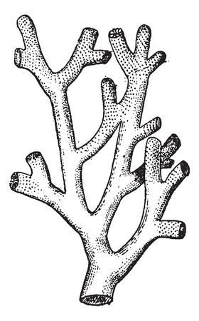 hydrozoa: Fire Coral or  Millepora sp., vintage engraved illustration. Dictionary of Words and Things - Larive and Fleury - 1895 Illustration