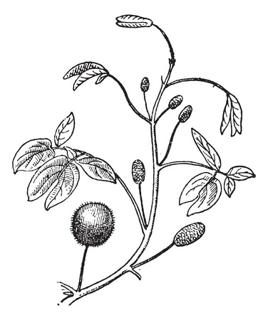 invasive plant: Mimosa or Mimosa sp., showing flower heads, vintage engraved illustration. Dictionary of Words and Things - Larive and Fleury - 1895 Illustration