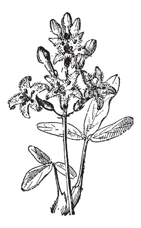 bog: Bog-bean or Buckbean or Menyanthes trifoliata, vintage engraved illustration. Dictionary of Words and Things - Larive and Fleury - 1895