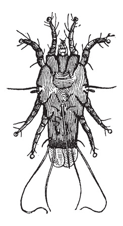 arthropoda: Mite, vintage engraved illustration. Dictionary of Words and Things - Larive and Fleury - 1895 Illustration
