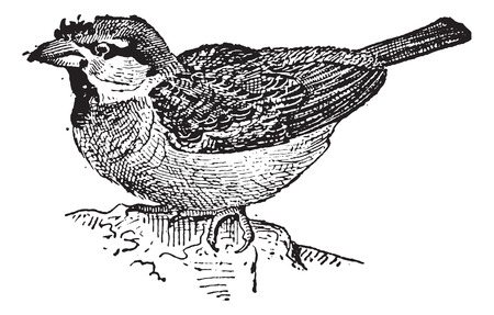 omnivore: Sparrow or Passer sp., Perched on a Rock, vintage engraved illustration. Dictionary of Words and Things - Larive and Fleury - 1895