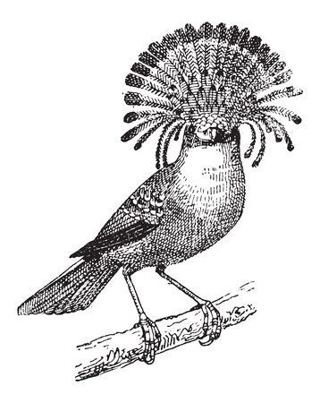 zoological: Flycatcher or Elminia sp., vintage engraved illustration. Dictionary of Words and Things - Larive and Fleury - 1895 Illustration