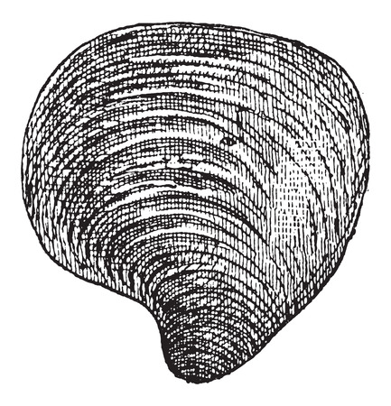 mussel: Freshwater Mussel, vintage engraved illustration. Dictionary of Words and Things - Larive and Fleury - 1895