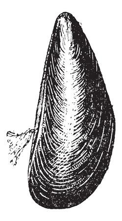 ムラサキイガイ、ヴィンテージの図を刻まれています。辞書の言葉や物事 - Larive 氏 - 1895