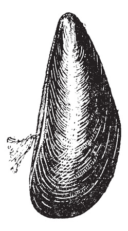 mussel: Marine Mussel, vintage engraved illustration. Dictionary of Words and Things - Larive and Fleury - 1895 Illustration