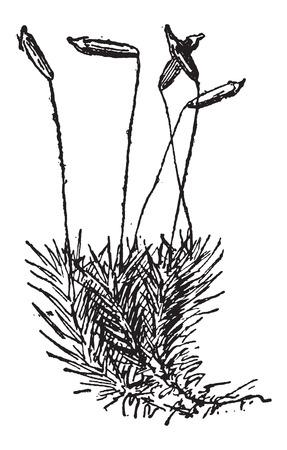 포자체, 빈티지 새겨진 그림을 보여주는 일반적인 헤어 캡 모스 또는 Polytrichum 코뮌. Larive 및 플러 - - 1,895 단어와 사물의 사전