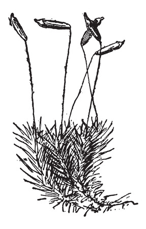 Common Haircap Moss or Polytrichum commune, showing Sporophyte, vintage engraved illustration. Dictionary of Words and Things - Larive and Fleury - 1895