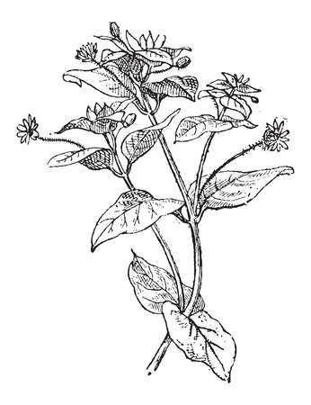 cerastium tomentosum: Chickweed or Cerastium sp., showing flowers, vintage engraved illustration. Dictionary of Words and Things - Larive and Fleury - 1895