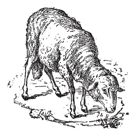 Sheep or Ovis aries, vintage engraved illustration. Dictionary of Words and Things - Larive and Fleury - 1895