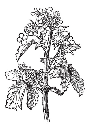 mustard seed: Mustard, Sinapis sp., or Brassica sp., showing flowers, vintage engraved illustration. Dictionary of Words and Things - Larive and Fleury - 1895 Illustration