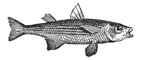grey mullet: Grey Mullet or Mugilidae, vintage engraved illustration. Dictionary of Words and Things - Larive and Fleury - 1895