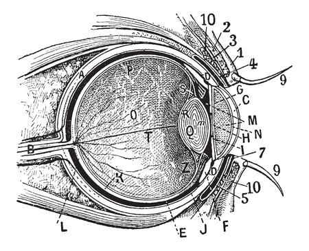 cornea: Parti interne, sezione occhio umano mostrando la cornea, l'iride, cristallino e retina, vintage illustrazione inciso. Dizionario di parole e cose - Larive e Fleury - 1895