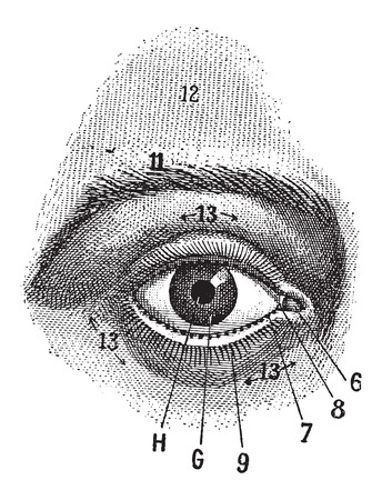 body parts: External View of the Human Eye, showing pupil, iris, sclera and eyelid, vintage engraved illustration. Dictionary of Words and Things - Larive and Fleury - 1895 Illustration