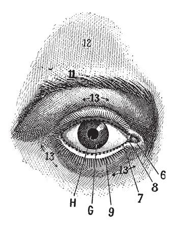 ojo humano: Vista exterior del ojo humano, mostrando pupila, el iris, la escler�tica y el p�rpado, cosecha ilustraci�n grabada. Diccionario de palabras y las cosas - Larive y Fleury - 1895