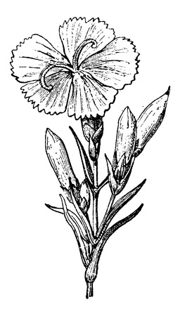 Wild Carnation or Dianthus caryophyllus, vintage engraved illustration. Dictionary of Words and Things - Larive and Fleury - 1895