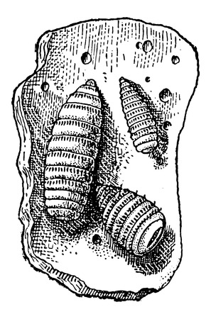 infestation: Botfly or Oestridae, showing larvae on a piece of stomach tissue, vintage engraved illustration. Dictionary of Words and Things - Larive and Fleury - 1895
