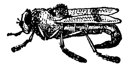 bot: Botfly or Oestridae, showing adult female, vintage engraved illustration. Dictionary of Words and Things - Larive and Fleury - 1895