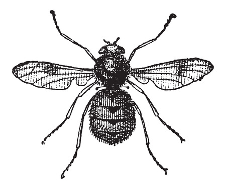 gad: Botfly or Oestridae, vintage engraved illustration. Dictionary of Words and Things - Larive and Fleury - 1895
