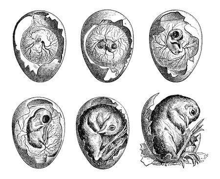 gallina con huevos: Desarrollo de una ilustración del huevo del pollo, vintage grabado. Diccionario de palabras y las cosas - Larive y Fleury - 1895