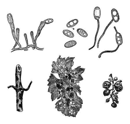 pathogen: Varias formas de moho, cosecha ilustraci�n grabada. Diccionario de palabras y las cosas - Larive y Fleury - 1895