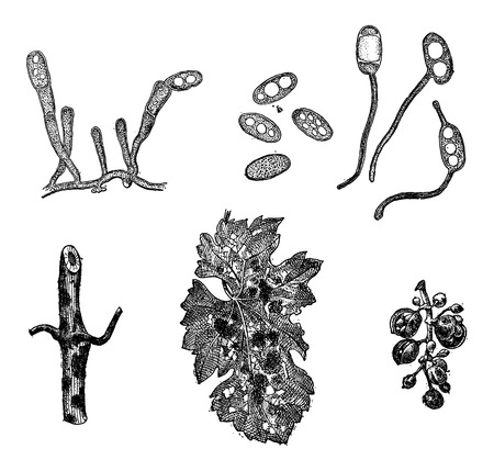 Various Forms of Mildew, vintage engraved illustration. Dictionary of Words and Things - Larive and Fleury - 1895 Ilustração