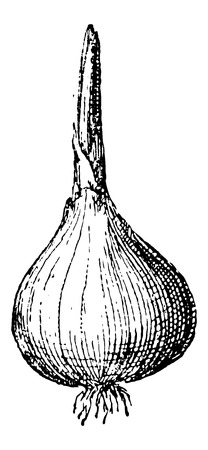 allium: Onion or Allium cepa, showing bulb with root and shoot, vintage engraved illustration. Dictionary of Words and Things - Larive and Fleury - 1895