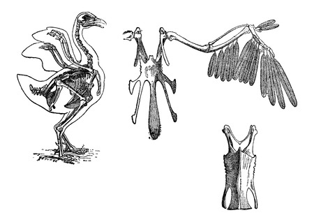 Skeleton of a Chicken, vintage engraved illustration. Dictionary of Words and Things - Larive and Fleury - 1895