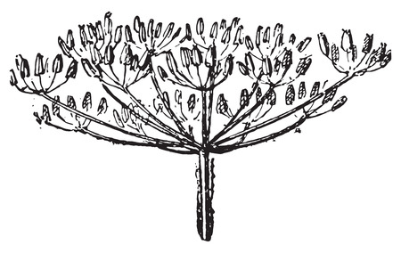 umbel: Umbel, vintage engraved illustration. Dictionary of words and things - Larive and Fleury - 1895.