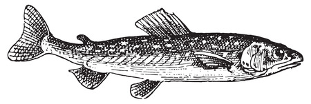 Ombrine poissons, illustration vintage gravé. Dictionnaire des mots et des choses - Larive et Fleury - 1895.
