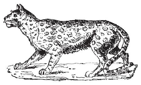 panthera: Ounce o Panthera uncia o Irbis o Snow Leopard, vintage illustrazione inciso. Dizionario di parole e cose - Larive e Fleury - 1895.