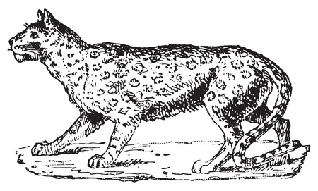 panthera: Ounce or Panthera Uncia or Irbis or Snow Leopard, vintage engraved illustration. Dictionary of words and things - Larive and Fleury - 1895. Illustration