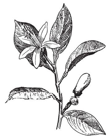 citricos: Naranja, Flor y hojas, cosecha ilustraci�n grabada. Diccionario de palabras y las cosas - Larive y Fleury - 1895.
