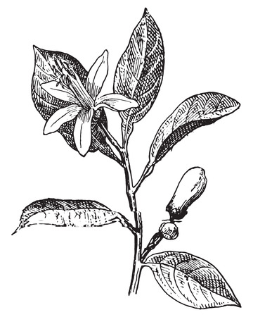 Orange, Flower and leaves, vintage engraved illustration. Dictionary of words and things - Larive and Fleury - 1895. Vettoriali