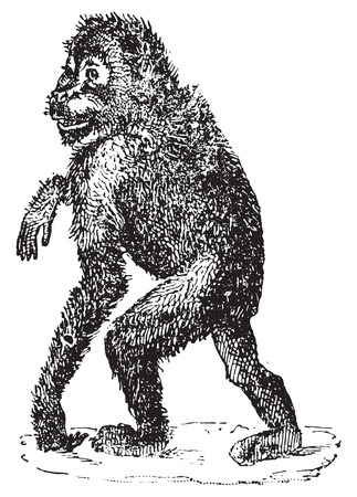 arboreal: Orangutan, vintage engraved illustration. Dictionary of words and things - Larive and Fleury - 1895. Illustration