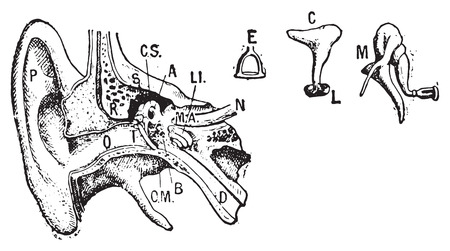 vintage anatomy: Ear, vintage engraved illustration. Dictionary of words and things - Larive and Fleury - 1895.