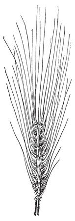 一般的な大麦ビンテージ図を刻まれています。辞書の単語との事 - Larive、フルーリ - 1895年。