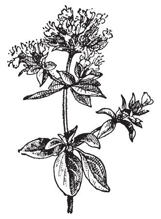 oregano plant: Oregano, vintage engraved illustration. Dictionary of words and things - Larive and Fleury - 1895. Illustration