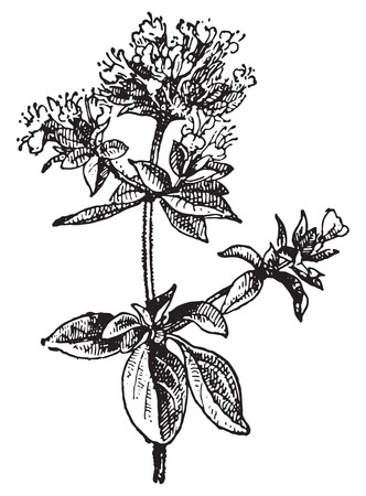 Oregano, vintage engraved illustration. Dictionary of words and things - Larive and Fleury - 1895. Vettoriali