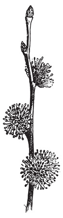 elm: Elm, vintage engraved illustration. Dictionary of words and things - Larive and Fleury - 1895.