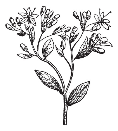 Sedum or Stonecrops, vintage engraved illustration. Dictionary of words and things - Larive and Fleury - 1895.