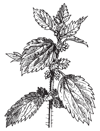 Stinging nettle or Nettle or common nettle or Urtica dioica, vintage engraved illustration. Dictionary of words and things - Larive and Fleury - 1895. Ilustracja
