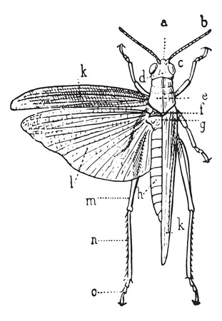 Orthoptera, vintage engraved illustration. Dictionary of words and things - Larive and Fleury - 1895. Vector