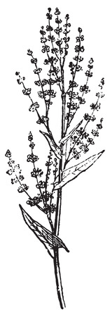 sorrel: Sorrel or Common sorrel or garden sorrel or Rumex acetosa, vintage engraved illustration. Dictionary of words and things - Larive and Fleury - 1895.