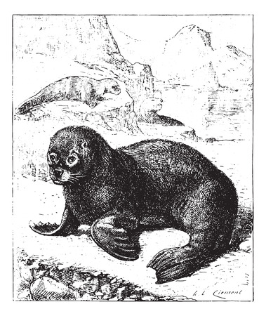 flipper: Sea lion, vintage engraved illustration. Dictionary of words and things - Larive and Fleury - 1895. Illustration