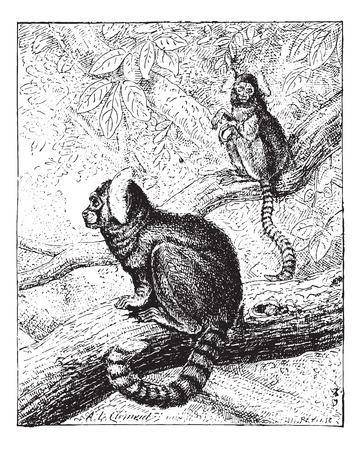 primate biology: Marmoset, vintage engraved illustration. Dictionary of words and things - Larive and Fleury - 1895.