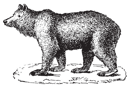 Bear, vintage engraved illustration. Dictionary of words and things - Larive and Fleury - 1895. Vector