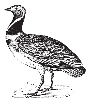 terrestrial: Bustard, vintage engraved illustration. Dictionary of words and things - Larive and Fleury - 1895. Illustration