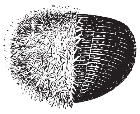 sea urchin: Urchin or Sea hedgehogs or Sea urchins, vintage engraved illustration. Dictionary of words and things - Larive and Fleury - 1895.