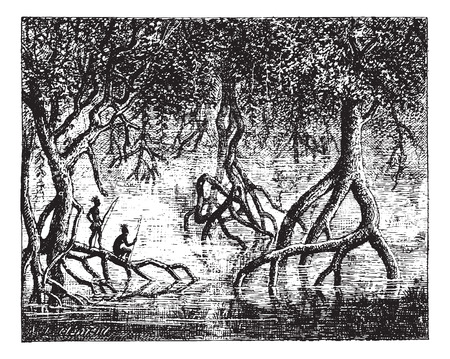 Mangroves, vintage engraved illustration. Dictionary of words and things - Larive and Fleury - 1895.