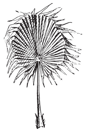 fronds: Palm Leaf, vintage engraved illustration. Dictionary of words and things - Larive and Fleury - 1895.